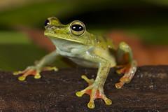 Brown Lines Tree Frog-Boana rubracyla (2)