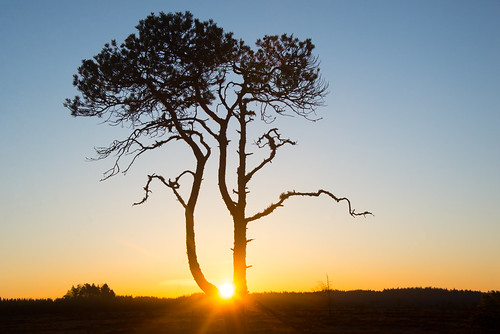 Pinus sylvestris - My sunrise tree | by talaakso