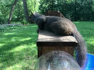 Surveyor of the Squirreldom