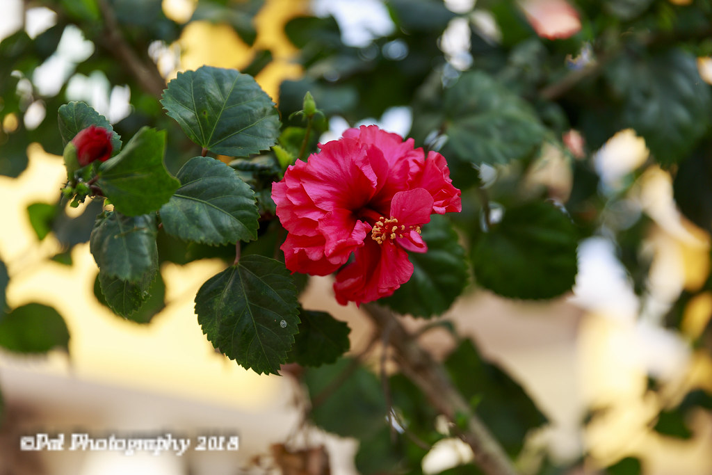 Hibiscus In My Daughters Gardenthis Is Aduku Sembaruthi Flickr