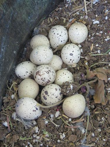 wildlife quail gambelsquail birds eggs sahuarita arizona desert