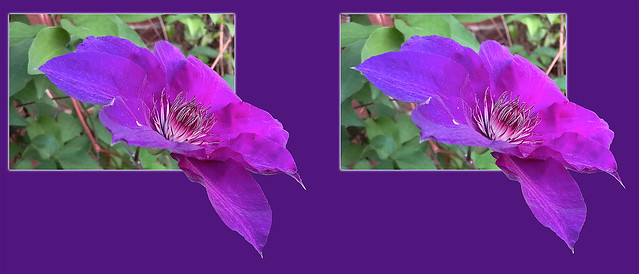 Clematis Flower 6 - Parallel 3D