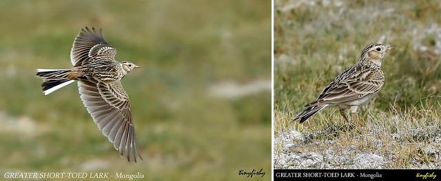 (Species #1251) GREATER SHORT-TOED LARK  - [ Gun-Galuut Nature Reserve, Tov, Mongolia ]