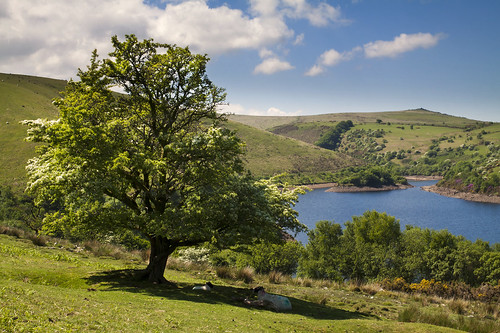 meldonreservoir dartmoor nationalpark uk lake water reservoir meldon hawthorntree moorland sheep resting picnic sunny sunshine bankholidayweekend may canon eos50d tamron 1750mm grass whiteclouds puffy landscape island inbloom flowering nature outdoors rhododendrons tor hill shadow gorse shade scenicview devon