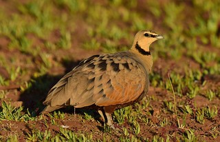Yellow-throated Sandgrouse  (Pterocles gutturalis) | by Ian N. White