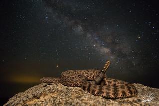 Mottled Rock Rattlesnake | by Frank Portillo