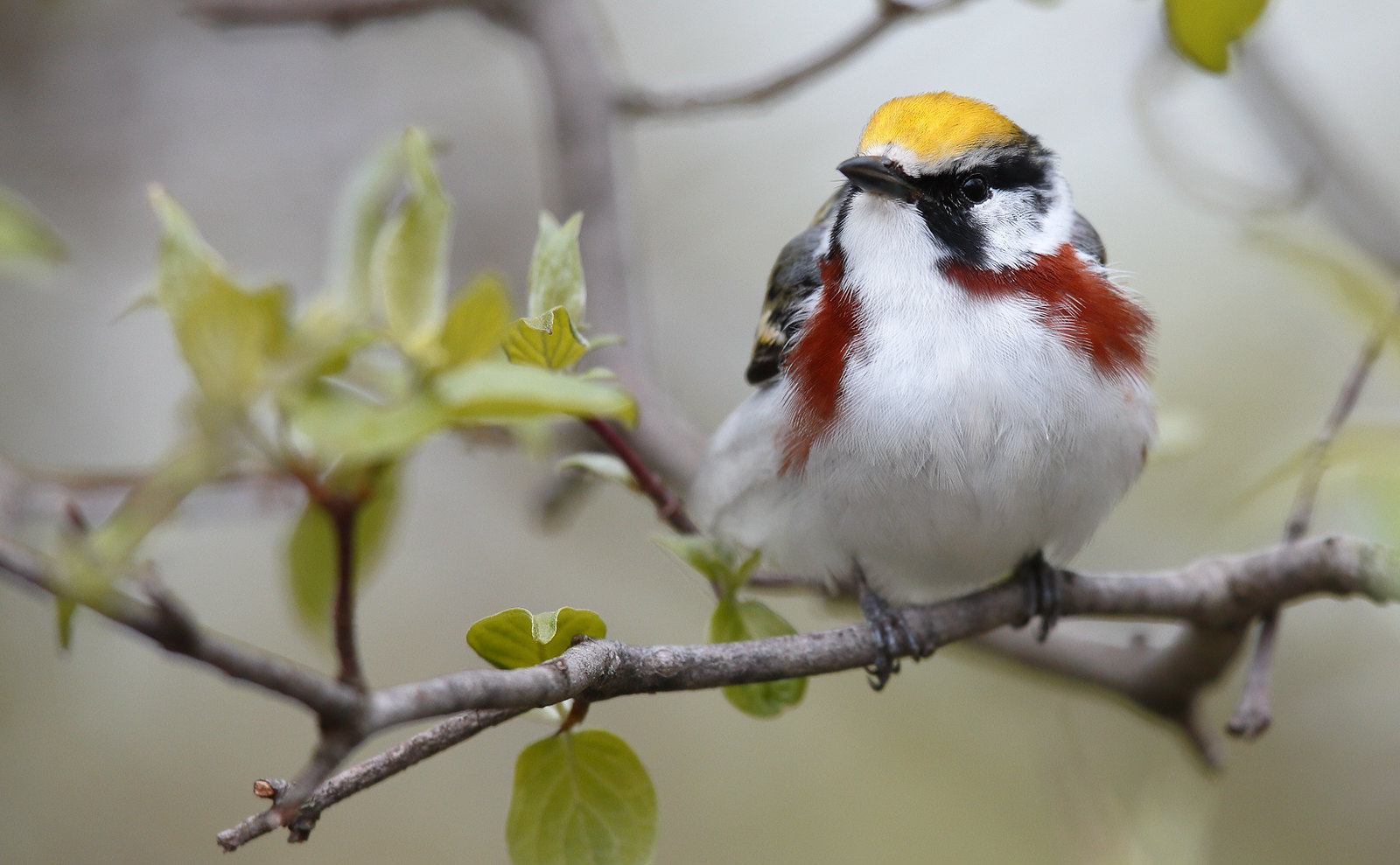 Chestnut-sided Warbler [male]