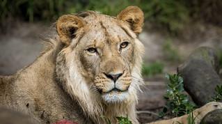 Juvenile Male Lion (Panthera leo) | by Wade Tregaskis