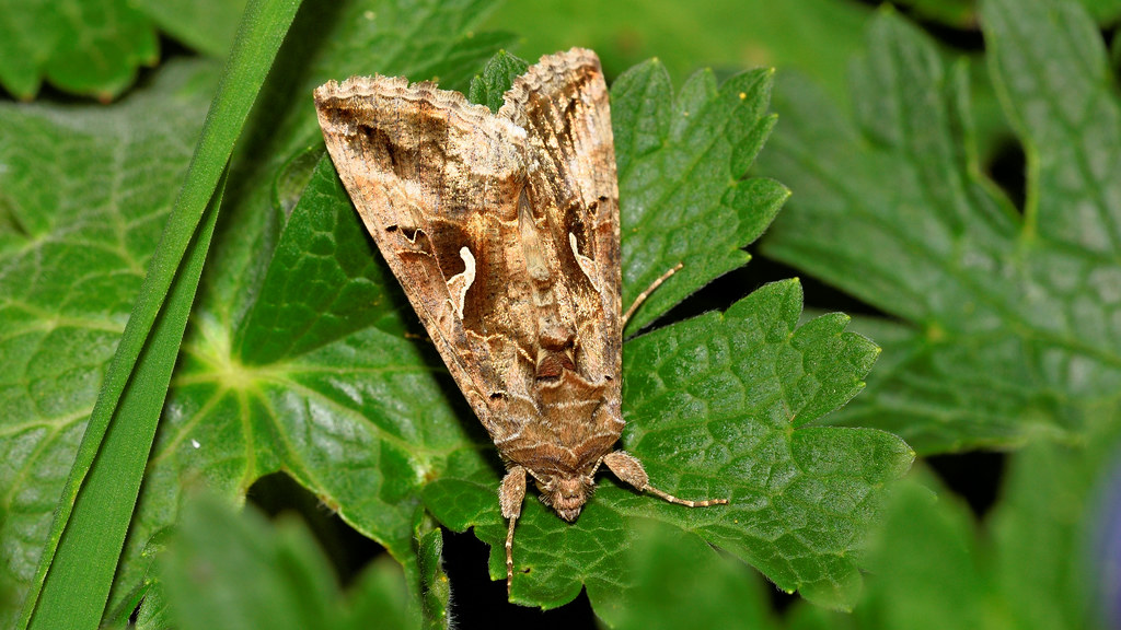 Silver Y Moth (Autographa gamma) | When going round to mend