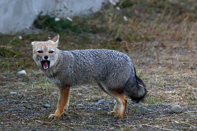 7. Patagonian Grey Fox (Lycalopex griseus), Border Crossing Chile To Argentina At Cerro Castillo, Southern Patagonia