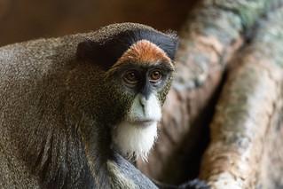 De Brazza's Monkey | by Eric Kilby