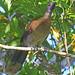 Grey-headed chachalaca - Ortalide à tête grise - Chachalaca cabecigrís - Ortalis cinereiceps