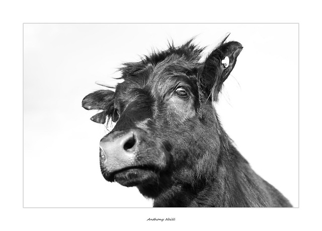Cow head shot