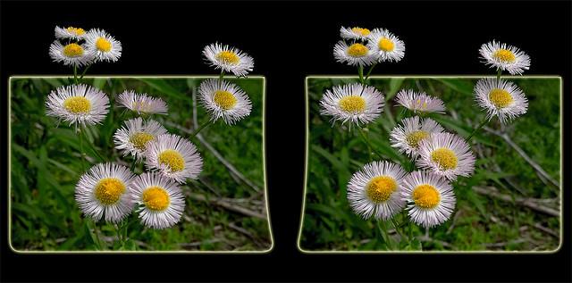 Aster Wildflower Bouquet 1 - Parallel 3D