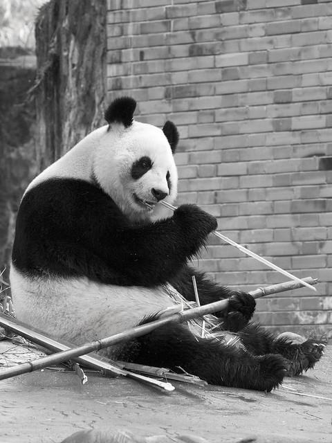 Gong Zhu, Dujiangyan Panda Base, Shiqiao (Qingchengshan), Dujiangyan, Sichuan, China