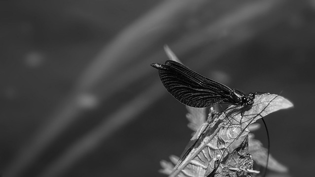 insect Monochrome