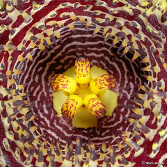 Huernia hystrix flower - Extreme Macro | by Martin_Heigan