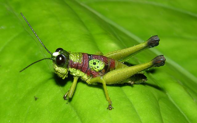Rainforest Grasshopper Eulampiacris Cf Leucoptera Ecuad