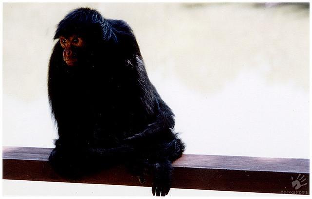 Macaco Aranha de-cara-vermelha