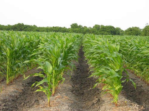 Corn on the Loop | by Brave Sir Robin