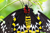Birdwing Butterfly by dpsager