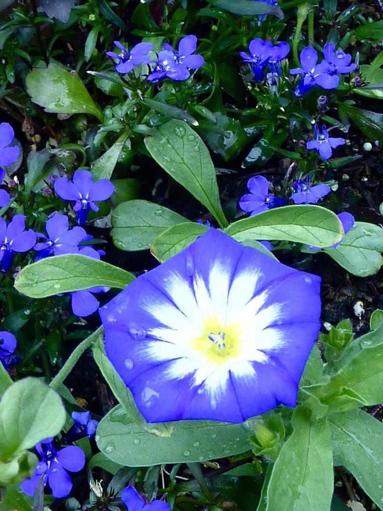 Morning Glory Among Rivera Midnight Blue Lobelia Tcherveny1 Flickr