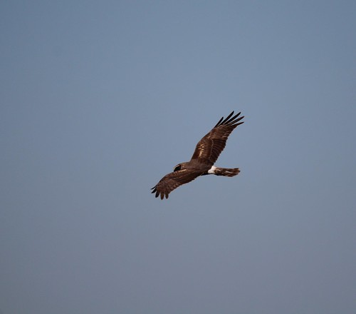 Northern Harrier Anahauc NWR 4-18 | by johnd1964