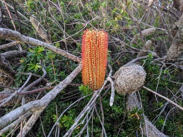 Banksia ericifolia (Orange heath banksia)