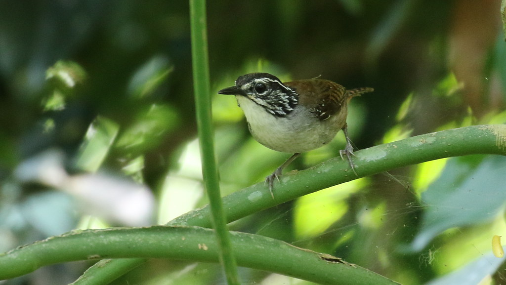 White-breasted Wood-Wren