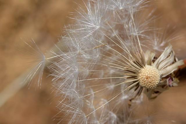 Seed dispersal of native Mountain Dandelion