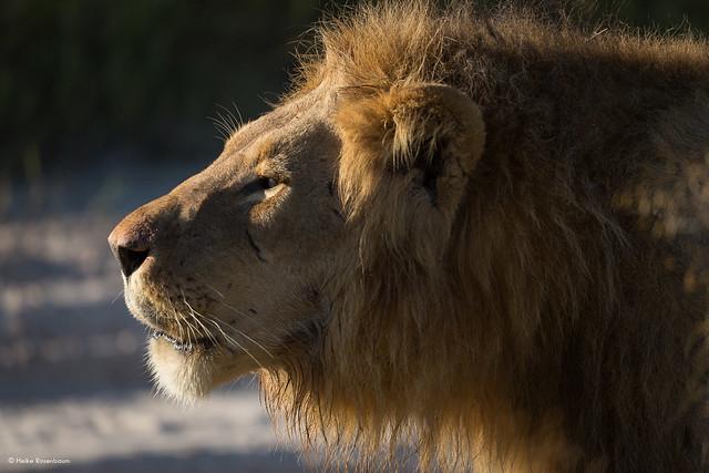 Male lion in Savute