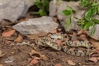 Long-Nosed Snake | by Frank Portillo