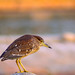 Black-Crowned Night Heron_6575