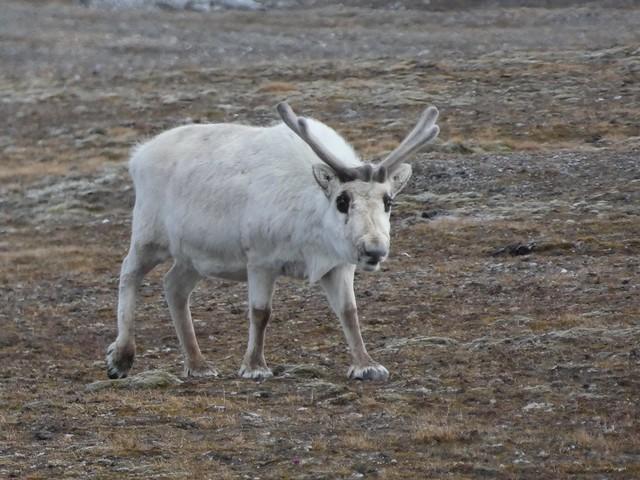 Reno enano de Svalbard
