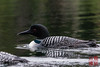 Common Loon (Gavia immer) by DragonSpeed