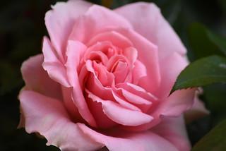 1st Rose of Spring