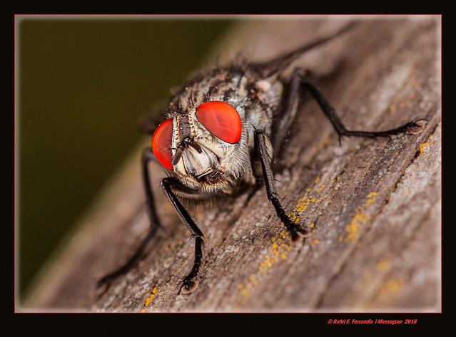 Mosca gris de la carn (Sarcophaga carnaria) Common flesh fly (Els ullals de Baldoví, Sueca, la Ribera Baixa, València, Spain)