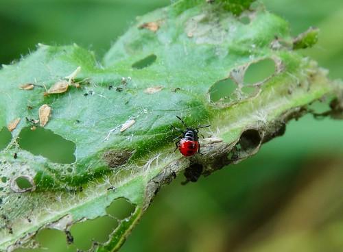 zicronacaerulea blueshieldbug asopinae pentatomidae hemiptera heteroptera insect nymph predator prey alticasp coleoptera beetle larva uptonmagna shropshire rockwolf