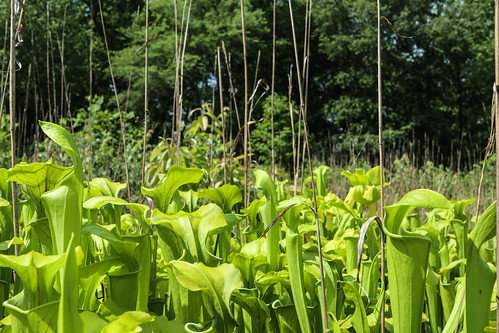 Clump of green pitcher plants | by USFWS/Southeast