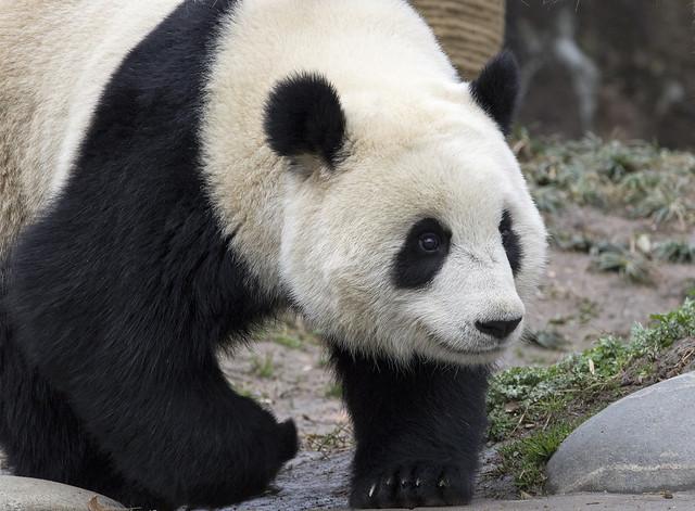 Nuan Nuan, Dujiangyan Panda Base, Shiqiao (Qingchengshan), Dujiangyan, Sichuan, China