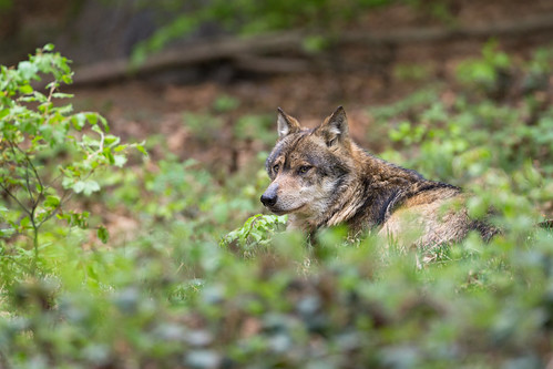 Eurasian Wolf | by The Wasp Factory