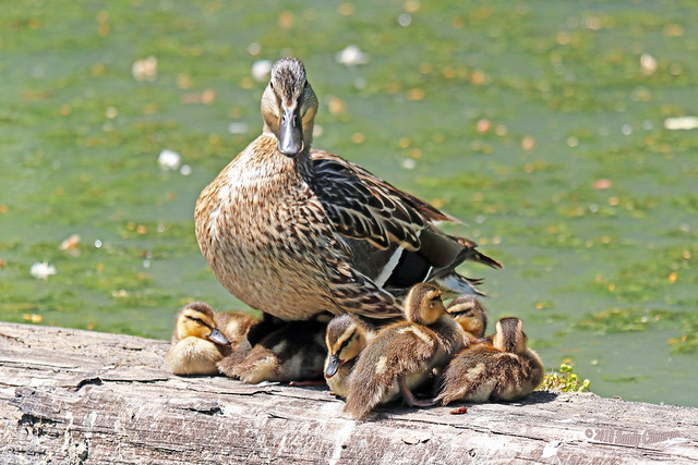 Mallard Hen And Ducklings 18-0527-1488