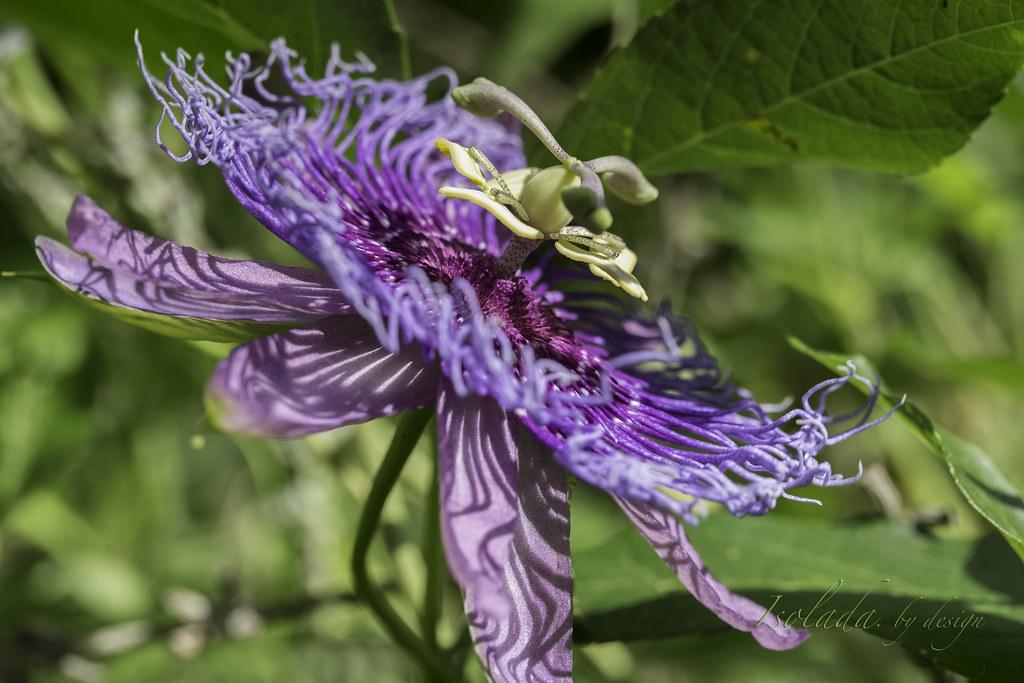 Passion Flower Passiflora Incarnata Passion Flower Pas Flickr