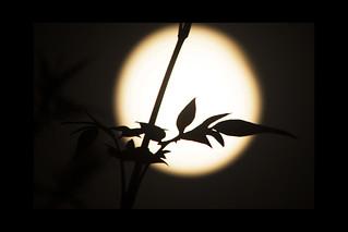 honeysuckle moon