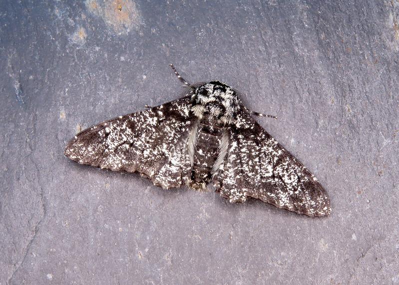 70.252 Peppered Moth - Biston betularia