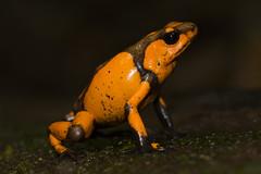 Harlequin Poison Frog-Oophaga histrionica (3)