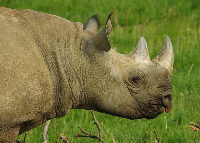 Black Rhino  (11)