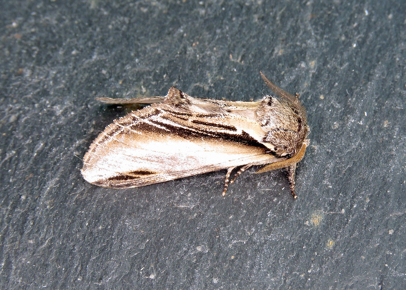 71.017 Swallow Prominent - Pheosia tremula