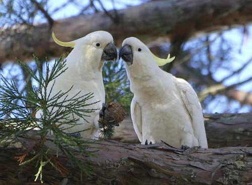 sulphurcrestedcockatoo cacatuagalerita kynetonbotanicgardens kyneton victoria australia