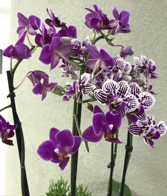 Mini orchids, São Paulo, Brazil.